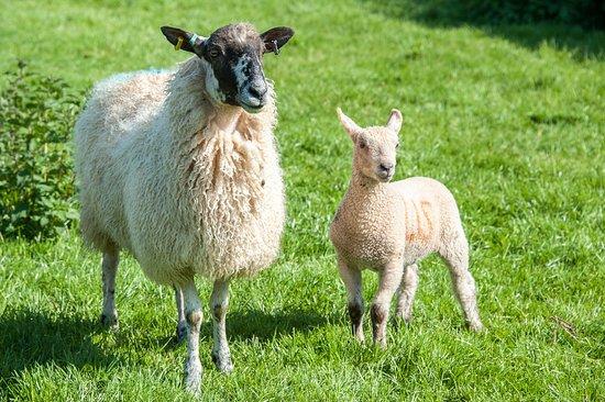 Tavistock, UK: Ewe and her lamb