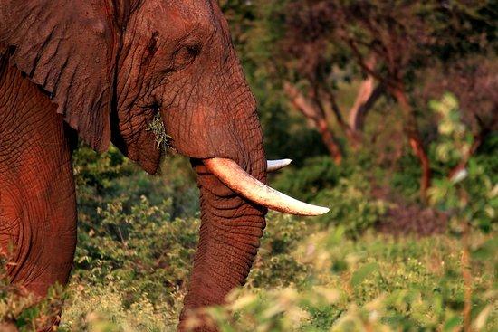 White River, South Africa: Bull Elephant enjoying a feed