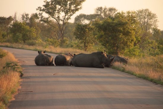 White River, South Africa: A Rhino crossing on route to Satara Kruger National Park