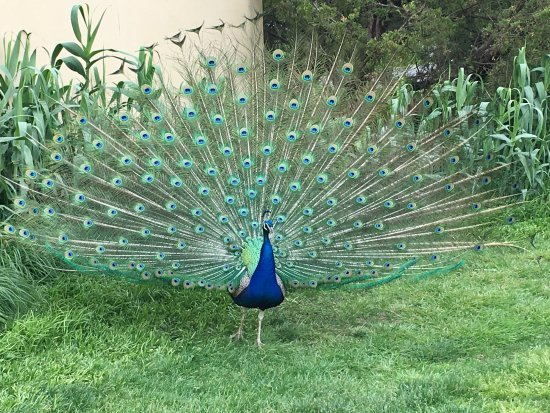 Hamilton, NJ: Peacock with full feathers