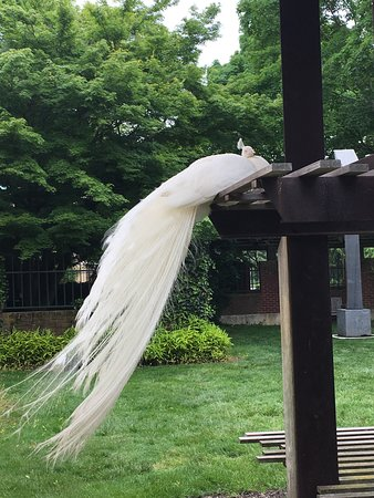Hamilton, نيو جيرسي: Peacock