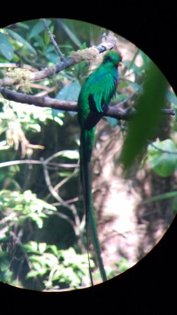 Monteverde Cloud Forest Reserve, Kosta Rika: The Respendent Quetzal through the spotting scope.