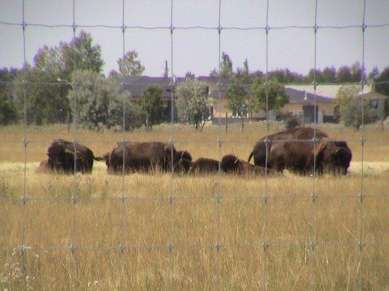 Fort Whyte Alive: Bison!
