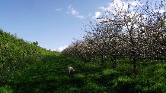 Okehampton, UK: main dog walk orchard compeletly stock proof fenced, great walk for slightly naughty dogs like m