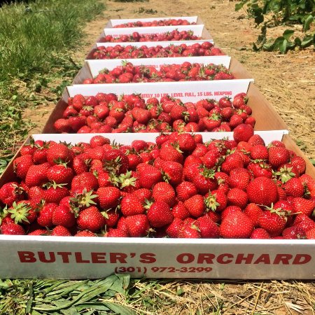 Butler's Orchard: Pick Your Own Strawberries