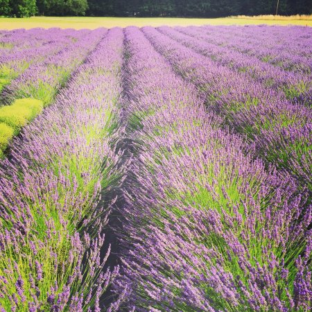 Walterville, OR: To spend an afternoon in the lavender fields with all the bees is amazing. A perfect summer trea