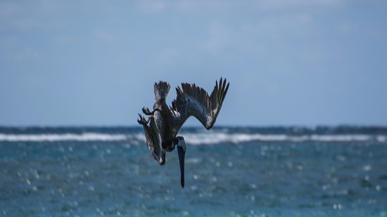 St. James's Club & Villas: Watching the pelicans fishing
