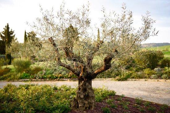 Monticchiello, Italien: Magnificent olive tree at main entrance.