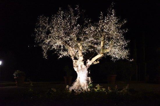 Monticchiello, Italien: That legendary olive tree by night.