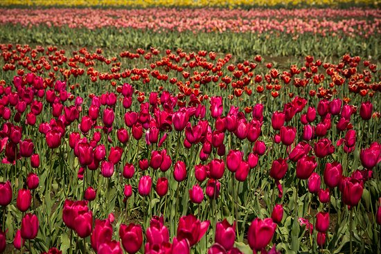 Woodburn, OR: Red Tulips