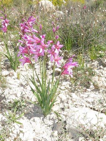 Cabo de Gata, España: Gladiolo salvaje en el camino a San Pedro