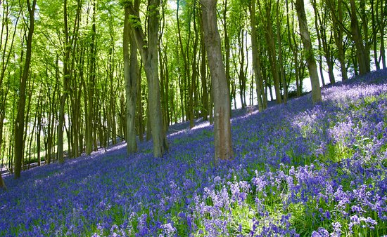 Portbury, UK: Slope covered in bluebells at south side of Prior's Wood