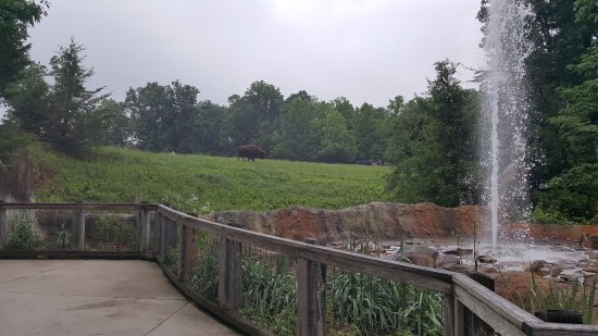 Asheboro, Carolina del Norte: Bison and a geiser