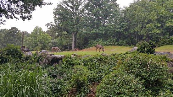Asheboro, Carolina del Norte: Zebra didn't care if it was raining