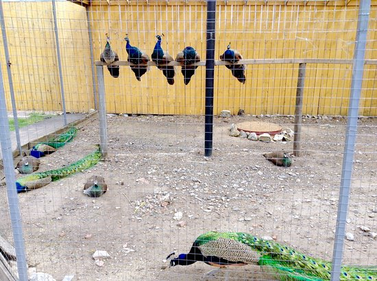Serpukhov, Russland: Вольер с павлинами
