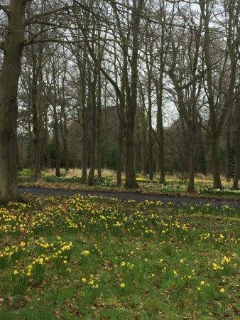 Alnwick, UK: Daffodils at Howick