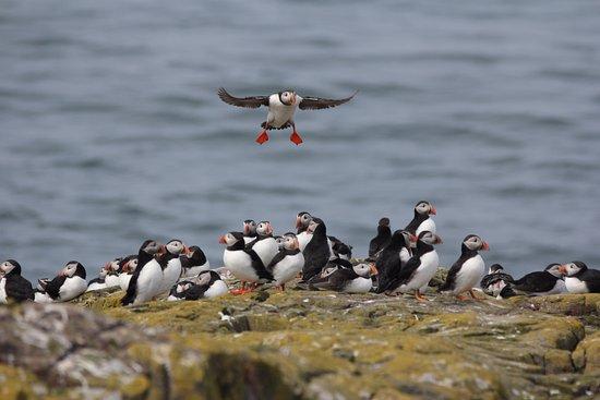 Farne Islands: Atlantic Puffins