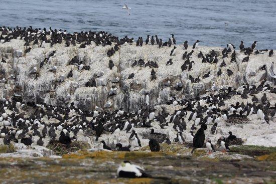 Farne Islands: Shags
