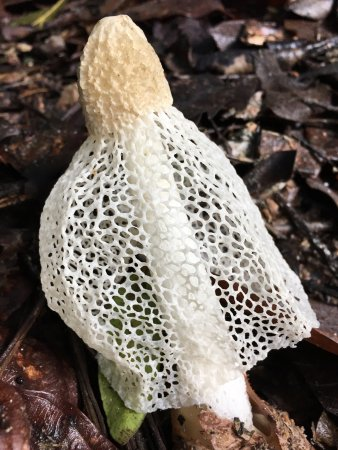 Yungaburra, Australia: The rare lace deathcap. Once in a lifetime thing to find. STINKS