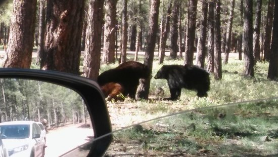 Williams, AZ: Bears just hanging out being friends