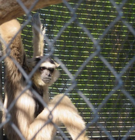 Santa Clarita, Kalifornia: Gibbons have expressive faces.