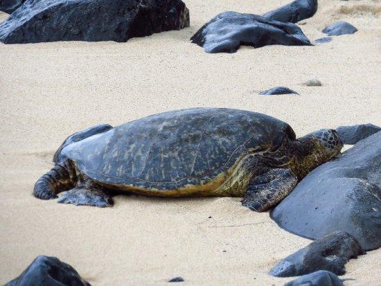 Paia, HI: turtle