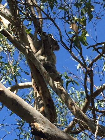Magnetic Island, Avustralya: We saw Koalas and their baby joeys in the trees on this tour. Also loved the WWII history that N
