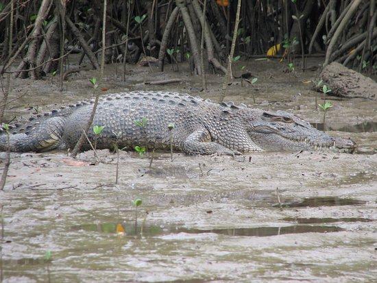 Cape Tribulation, Australia: Crocodile