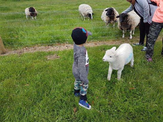 Wanaka, Yeni Zelanda: lamb
