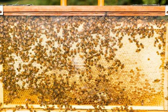 Wanaka, Yeni Zelanda: bee's making honey