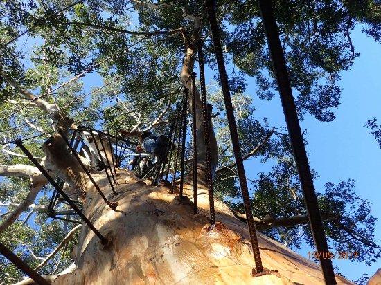 Pemberton, Australia: Climbing the tree