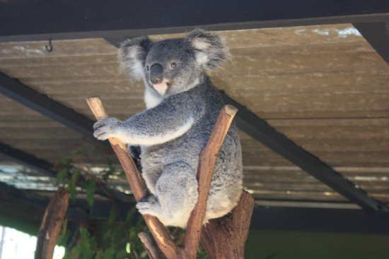 Avocado Sunset Bed and Breakfast: Koala... very ready for his close-up!
