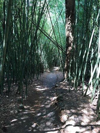 Mena Creek, Australia: Bamboo