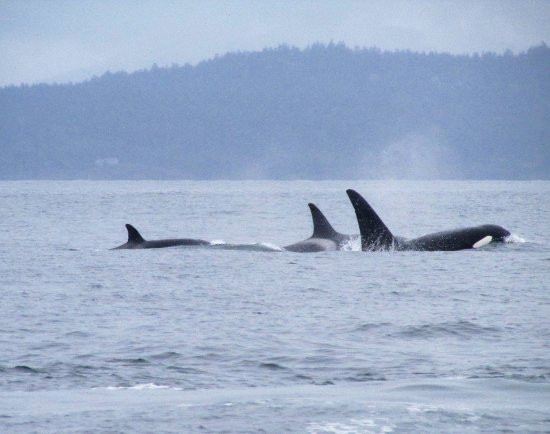 San Juan Islands, WA: Western Prince Whale watching