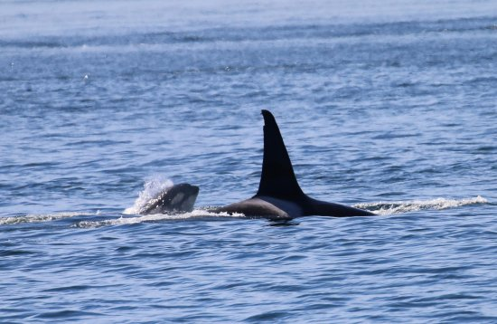 Island Adventures: Big male and baby Orca