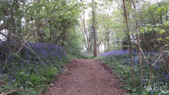 Horsham, UK: Bluebell forests