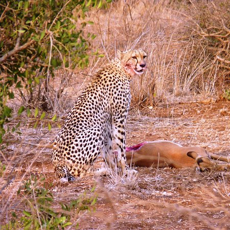 Cheetah Female On Impala Kill In Kruger National Park On A Vip Tour Sep 2016 Picture Of Heartbeats Of Africa Pretoria Tripadvisor