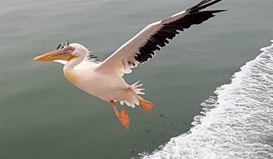 Walvis Bay, Namibia: pélican croisière en bateau
