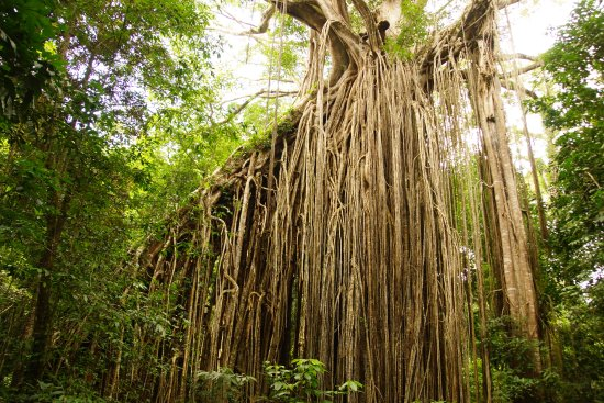 Yungaburra, Australien: Aussies visit the Curtain Fig Tree National Park