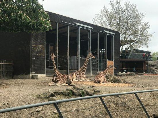 Frederiksberg, Denmark: Giraffen