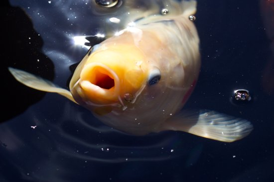 Muddiford, UK: Check out our Koi carp