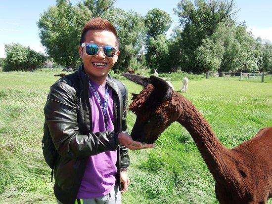 Fairlie, New Zealand: Feeding Alpaca