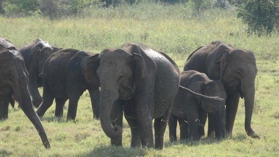 Habarana, Sri Lanka: Elefantengruppe