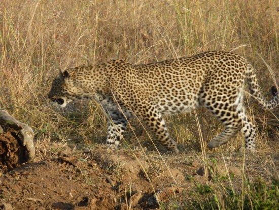 Soweto, แอฟริกาใต้: In the presence of the elusive leopard