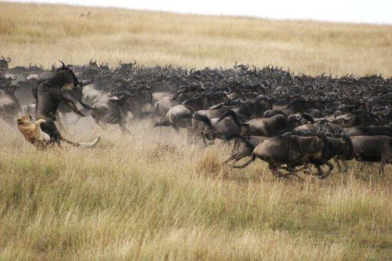 Great Plains Conservation Mara Plains Camp: Wildlife sighting at Mara Plains Camp, Kenya