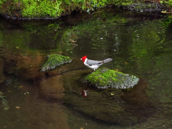 Kaneohe, Hawái: red crested cardinal