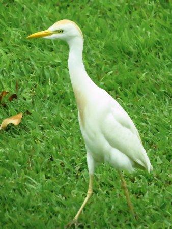 Kaneohe, Hawái: cattle egret