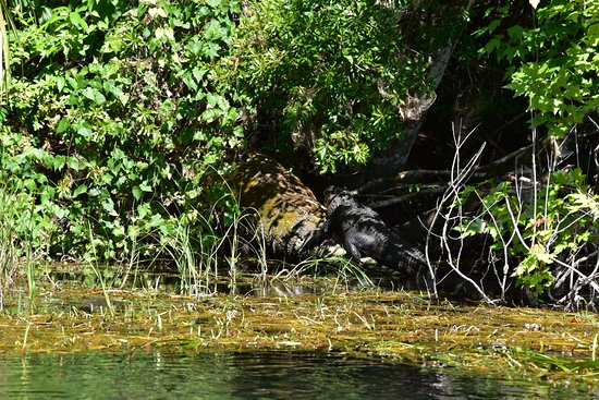 Rainbow Springs State Park : Alligators