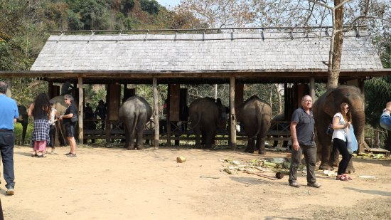 Ban Xieng Lom, Laos: Elephants being fed by visitors