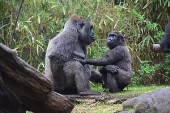 Resultado de imagen de foto gorilas